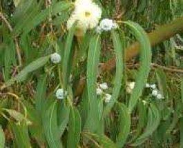 Vaj Kafuri [Eucalyptus globules]