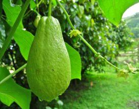 Kajota – Vlerat e rralla të perimes dardhë