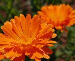 Calendula officinalis (kalandula mjeksore)