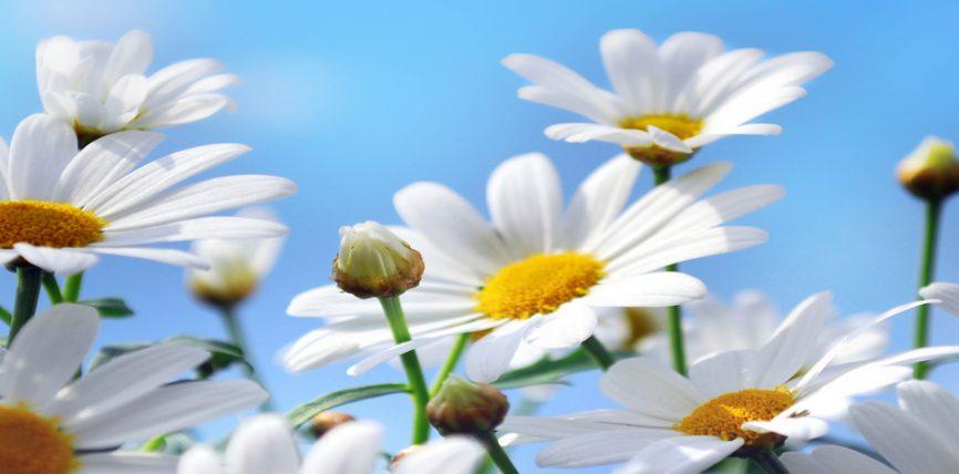 Kamomileja me bimë të tjera mjekësore