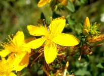 Kantarioni, sherbela dhe kamomila trajtohen si bimë për shërimin e sëmundjeve të caktuara gjenitale