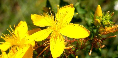 Hypericum perforatum L. Lulebalsami, St. John's wort përdoret për qetësim nervor, kundër depresionit