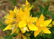 Hypericum perforatum (lulebasani,kantarioni)