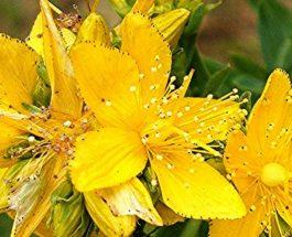 Lulebasani është ilaçi më i mirë natyral për depresion
