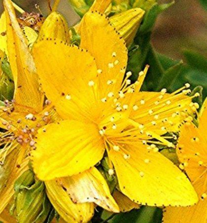 Përzierja e vajit të ullirit me lulen e basanit – Balsam që vjen ndër vite