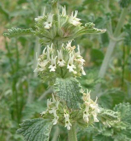 Kapinoku, bar (Marrubium vulgare, familja Labiatae)