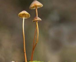 Kërpudhat magjike, ilaç kundër depresionit