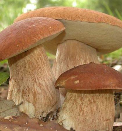 Kërpudha (Fungi sp)