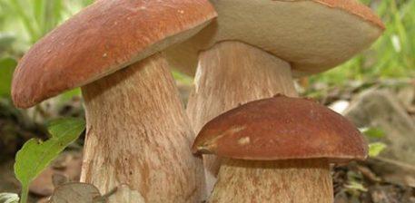 Kërpudhat