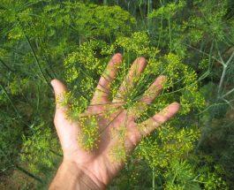 Anethum graveolens (kopër,i)
