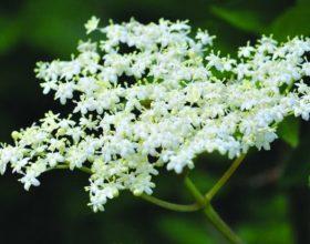 Sambucus nigra (lule shtogu)