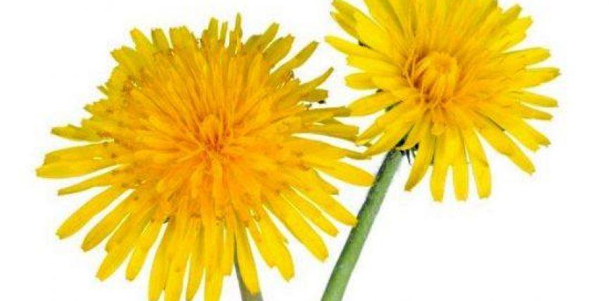 Luleradhiqja ose Taraxacum officinale ka sherbyer si ushqim për mijëra vjet me pare dhe përdoret për të trajtuar aneminë, ekzemën, problemet e lëkurës, çrregullime të gjakut, dhe depresioni
