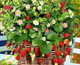 Luleshtrydhja është një frut që ka shumë pak kalori