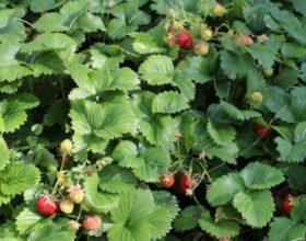 Luleshtrydhja e Egër-Fruti alpin magjik për organizmin