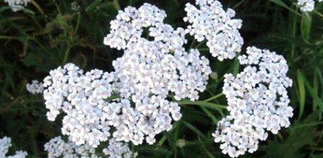 Me Lulen e Akilit mund të kurohen sëmundje të shumta, duke filluar nga sëmundjet nervore