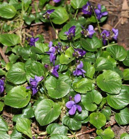 Viola odorata (manushaqja,vjollca)
