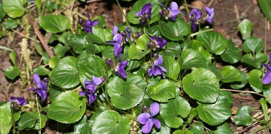 Lule Manushaqe