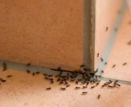 Përdorni këtë erëz dhe nuk do të shihni më milingona në shtëpinë tuaj