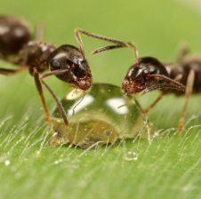 Nga cilësitë e milingonës është bashkëpunimi, ato nuk janë egoiste
