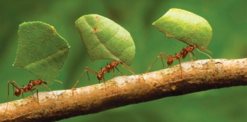 Si e larguan nga puna milingonën