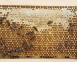 Mjalti si ilac perdoret te keto semundje