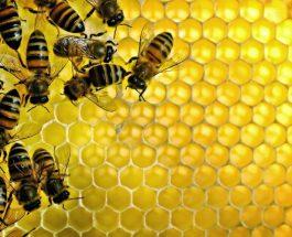 19 fakte interesante për bletët dhe mjaltin