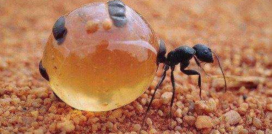 Kurthi i mjaltit