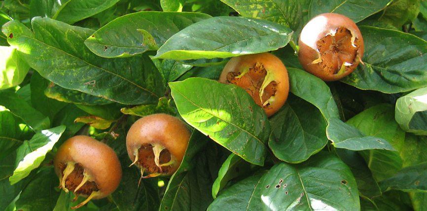 Mushmollat fruta vjeshtor