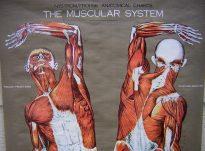Levizja e cila kryhet me ndihmen e muskujve te trupit tone ne momentin e ngritjes nuk kryhet me vullnetin tone