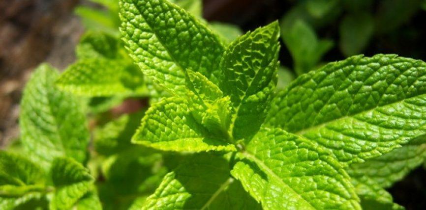 Nenexhiku bima që përdoret si mëlmesë dhe si kurë popullore