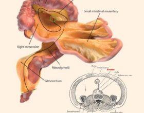 Zbulimi befasues, në trupin e njeriut ekziston një organ për të cilin nuk e dinim deri më sot