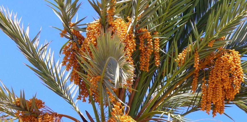 Palma e hurmës