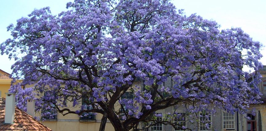 Paulownia pema qe po mahnit te gjithe