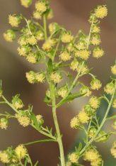 Kjo bimë vret 98 për qind të qelizave të kancerit për 16 orë?!