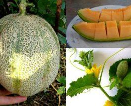 Cucumis melo (pjepri) – Fruti anti-stres (relaksues për organizmin)