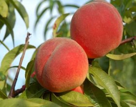 Prunus persika (pjeshka,sheftelia)
