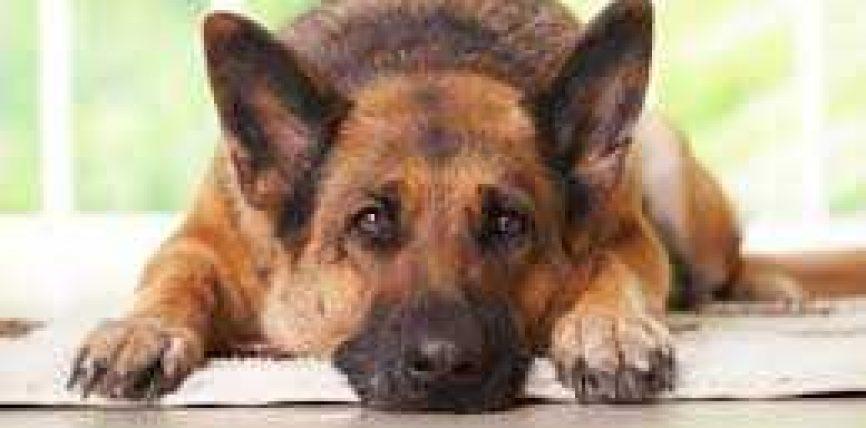 Përse e ndaloi i Dërguari i Allahut edukimin e qenve në shtëpi