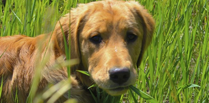 Mbase nuk e keni ditur këtë: Përse qentë hanë bar?