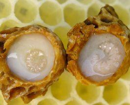 Qumështi i bletes -xhelatina mbretërore