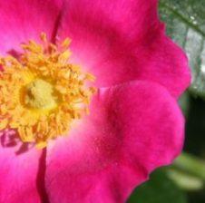 Kokrrat e Trëndafilit të Egër janë nga bimët medicinale me efektet më të fuqishme në organizmin e njeriut