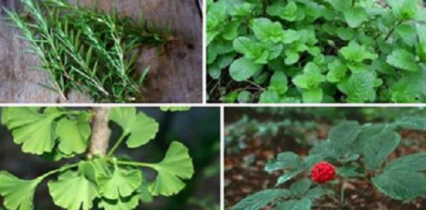 Këto 3 bimë mund të mbrojnë trurin tuaj nga Alzheimeri, Depresioni, Ankthi dhe shumë më tepër