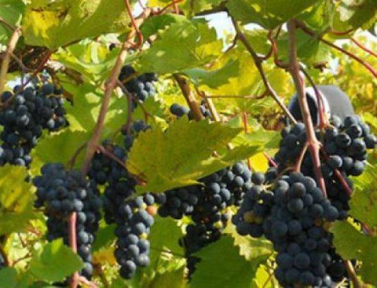Zbulimi: Gjethet e rrushit janë një ilaç i fuqishëm! Gjithcka që duhet të bëni është t'i zieni