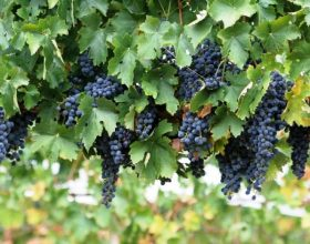 Rrushi (arab. inab ) Rrushi i tryezës