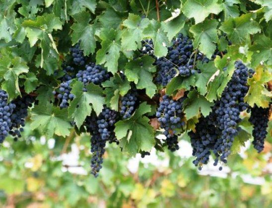 Rrushi, fruti i bekuar që përmendet 11 herë Kur'an