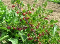 Ribes grossularia (rrushku) eliksir i shëndetit dhe jetëgjatësisë
