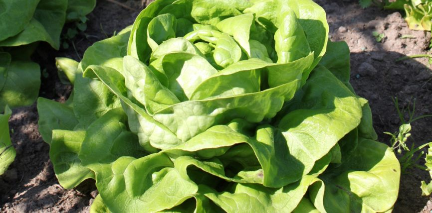 Sallata jeshile
