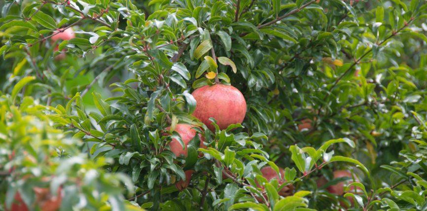 Shega (Punica granatum, familja Punicaceae)