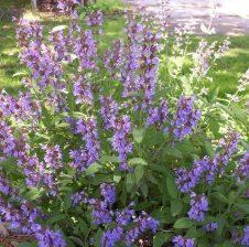 Salvia officinalis (sherbelja)