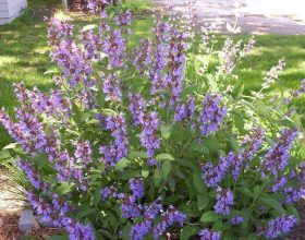 Salvia officinalis (sherbelja)