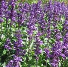 Sherebela (salvia officinalis)